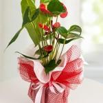 Orta Boy Antoryum Saksı Çiçeği